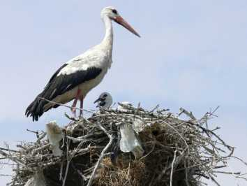 Endangered Storks